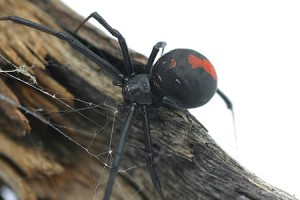How to get rid of Redback Spiders