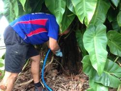 Termite nest in stump