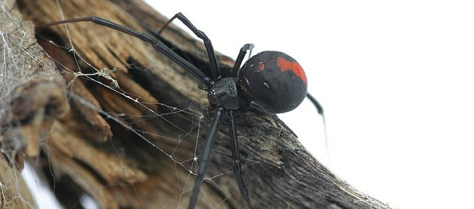 redback spider in your home