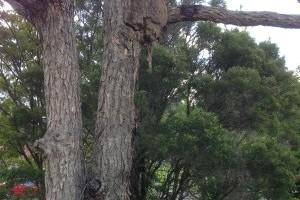 Termites Nest in Tree
