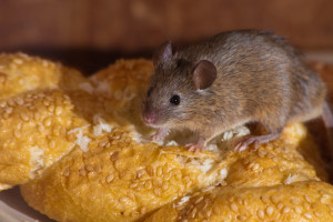 rats, mice, vermin, mouse, general pest control, gold coast, ashmore, rodents