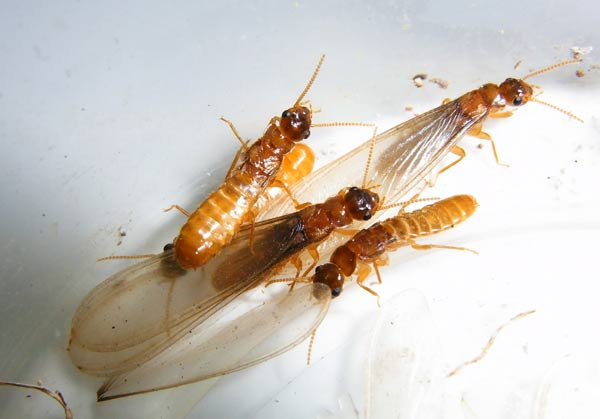 Image result for termite reproductive flight